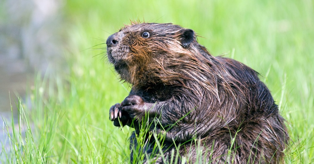 mate-for-life-beavers