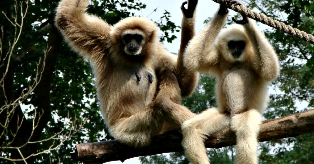 mate-for-life-gibbons