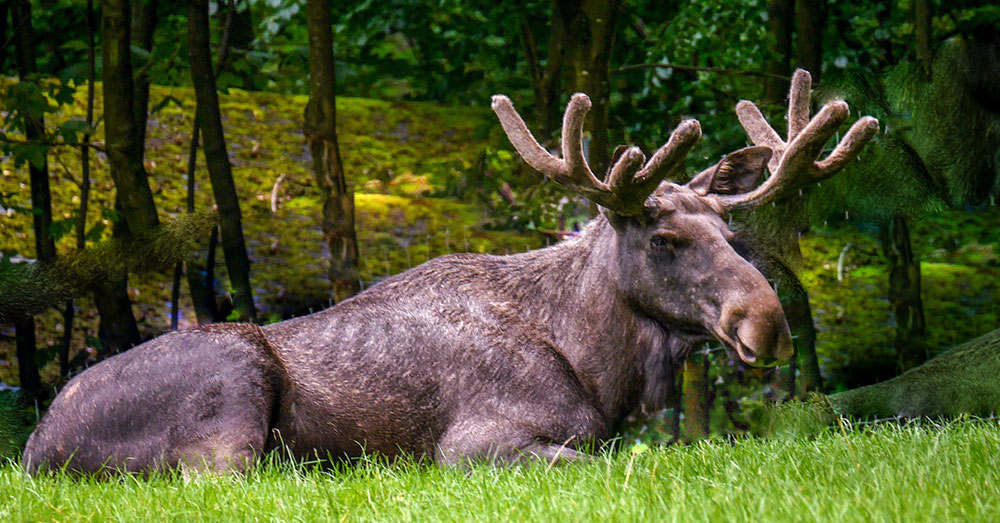 Source: Max Pixel Wild moose are often seen in the forests of New England.