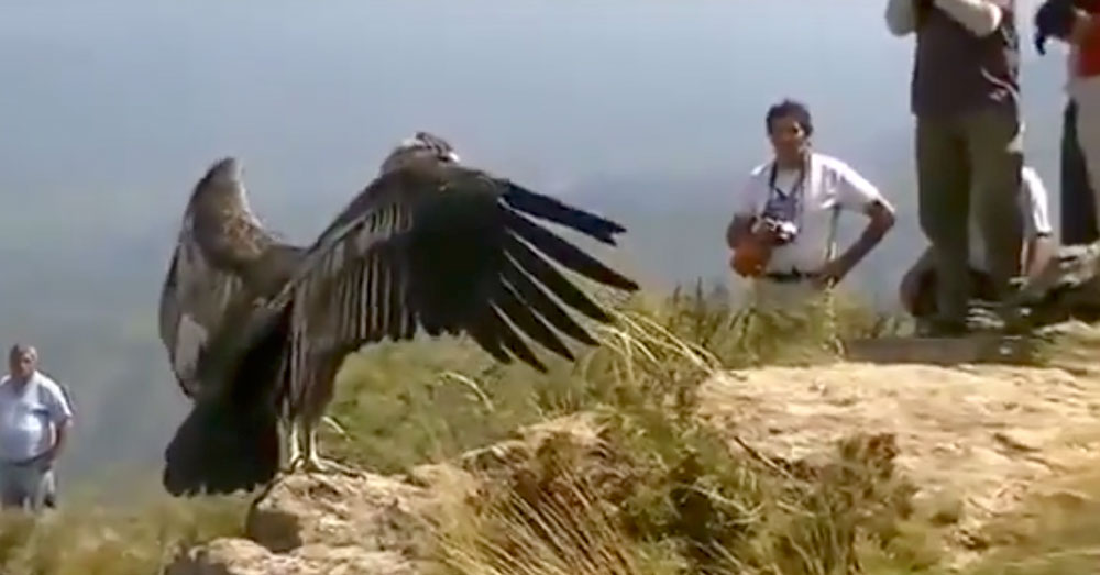 Source: YouTube/Canal ANDA The Andean condor appears to wave a final 'Thank you' to rescuers and fly off.