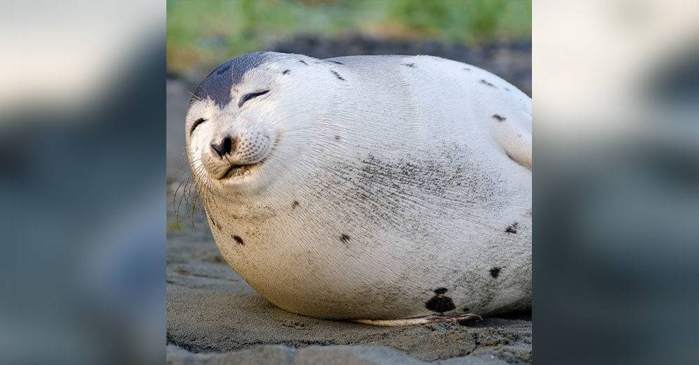 Source: CBC News The Department of Fisheries and Oceans has warned people to never touch a seal, and always give them room to roam.