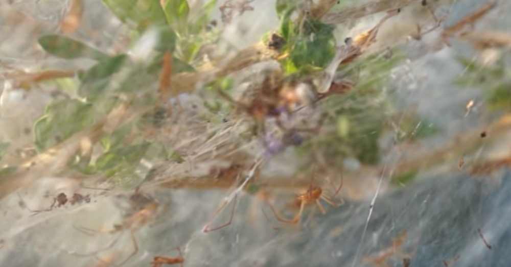 Source: YouTube/Giannis Giannakopoulos These spiders weave giant webs during mating season.