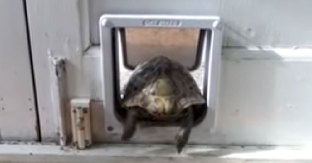 Source: YouTube/RM Videos A little cat flap isn't going to stand in this tortoise's way!