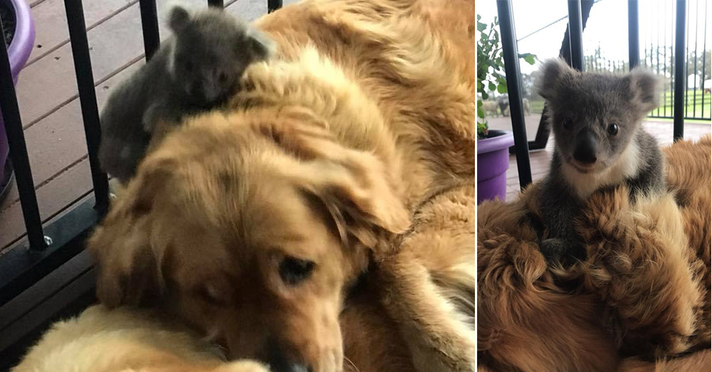 Source: Facebook/Kerry N Raymond McKinnon Asha and the baby koala, called a joey.