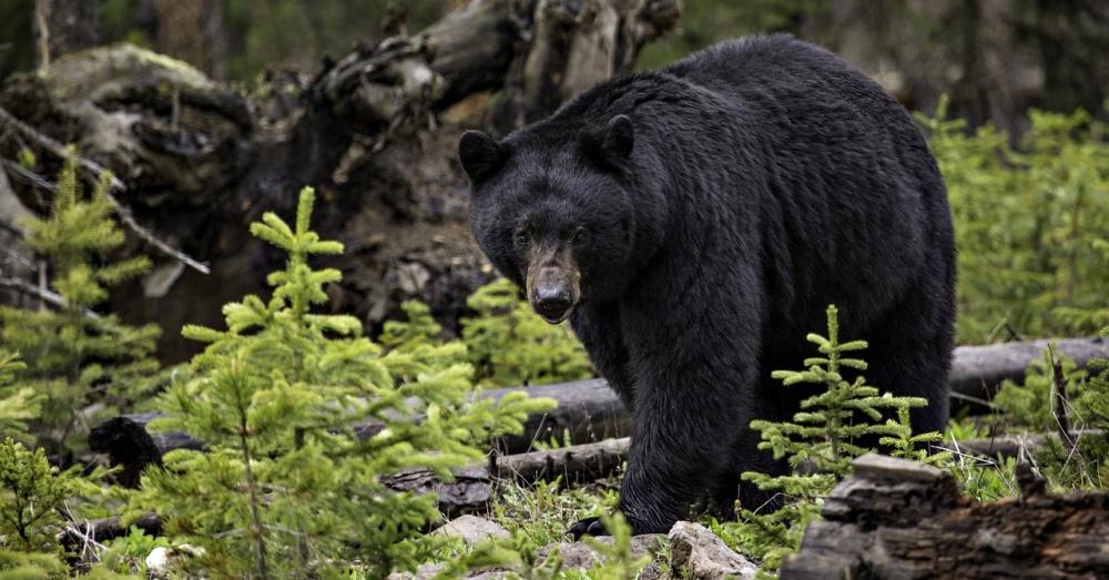 black-bear-alaska-3