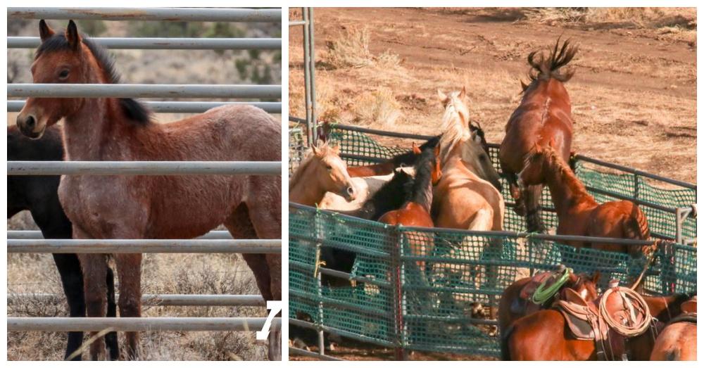 Photos: Facebook/American Wild Horse Campaign