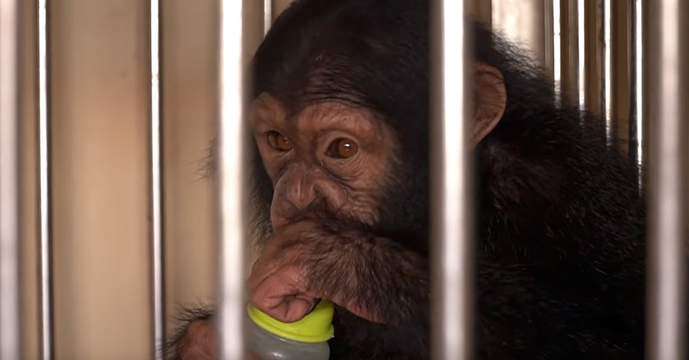 Source: YouTube/BBC News Chimp smuggling nets billions of dollars a year through illegal activities.