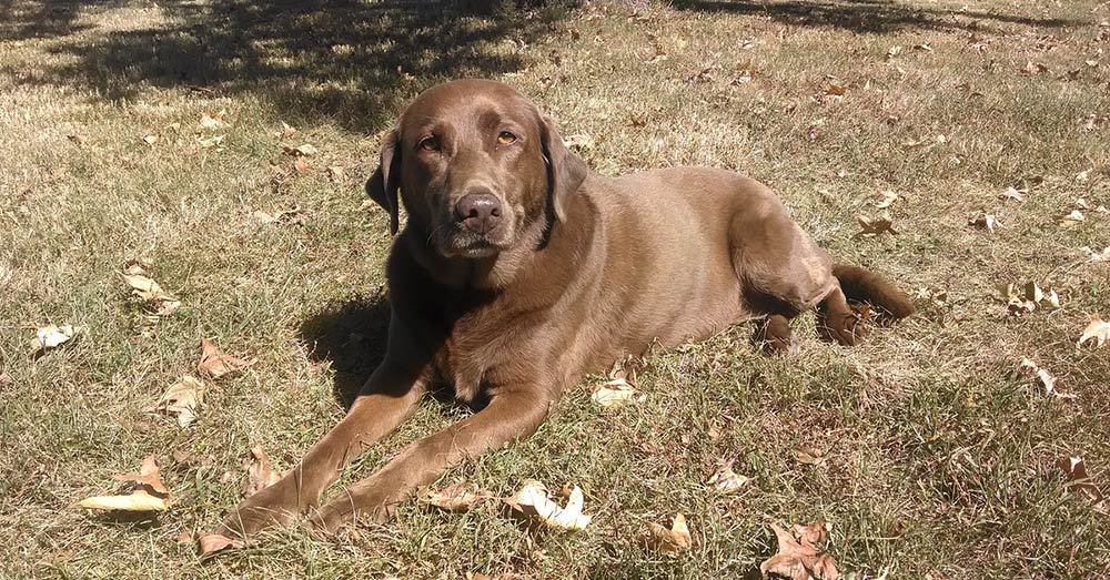 Source: Pixabay As a whole, Labradors suffer from joint issues, obesity and ear infections more commonly than other breeds.