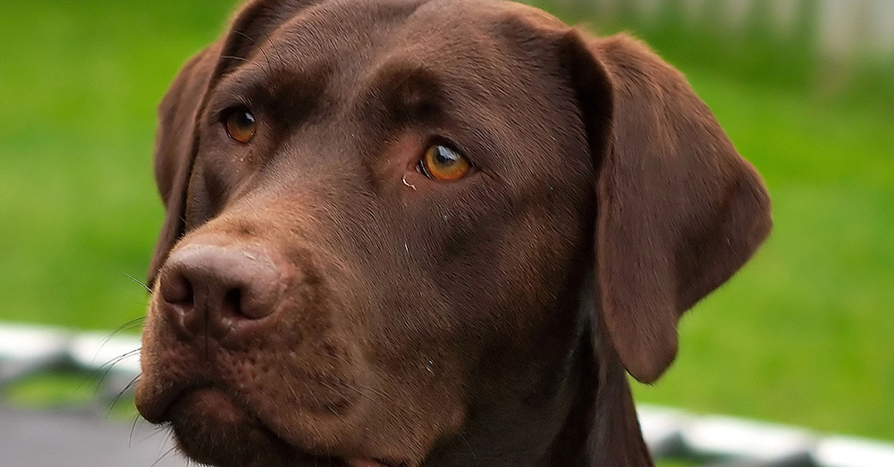 Source: Wikimedia Commons Chocolate Labrador Retrievers are more prone to skin and ear diseases than other Labradors.