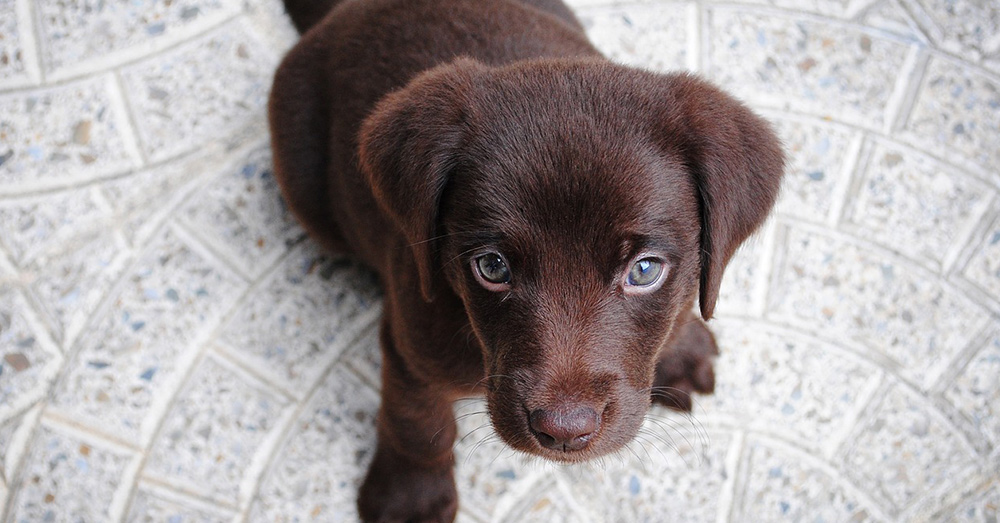 Source: Pixabay chocolate Labs may not live as long as black or yellow Labradors.