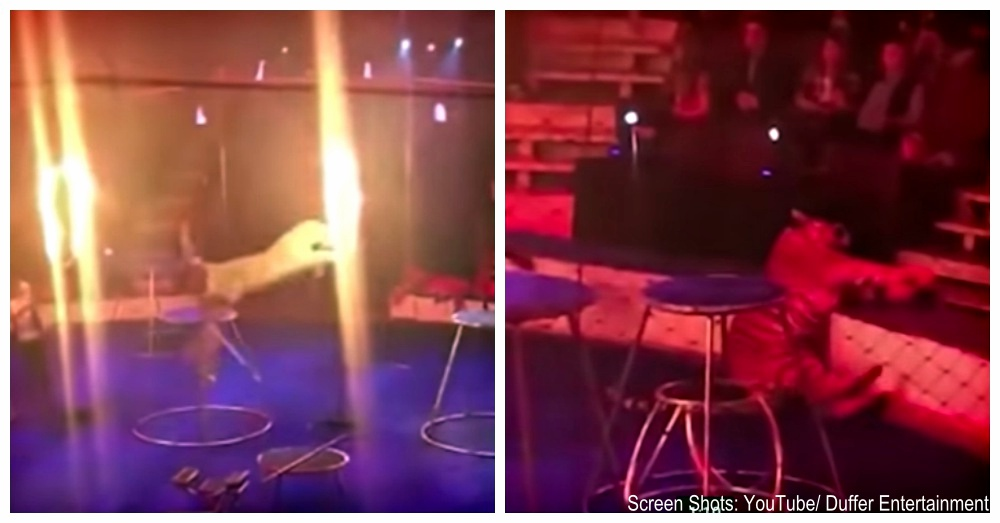 circus-tiger-russia-2