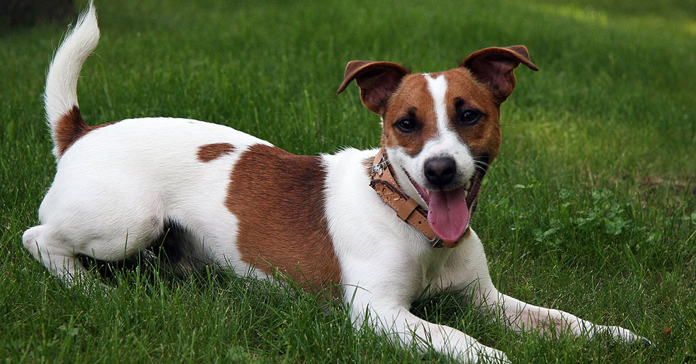Source: Wikimedia Commona A Jack Russell Terrier was rushed to the veterinary hospital after eating Gorilla Glue.