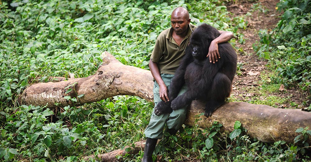 Source: Reddit/u/TheUnchainedZebra A man comforts an orphaned gorilla after its mother was killed by poachers.