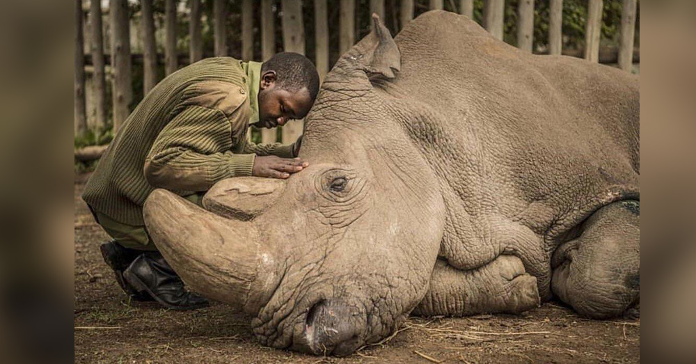 Source: Reddit/u/danno147 A man comforts the last remaining male white rhino in Sudan.