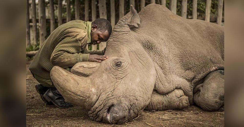 Source: Reddit/u/danno147 A man comforts the last remaining male white rhino in Sudan.