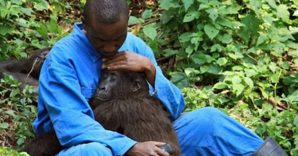 Source: Reddit/u/QuietCakeBionics Park ranger Andre comforts orphan gorilla Nadakasi through the sounds of bombs and mortars firing above Virunga National Park