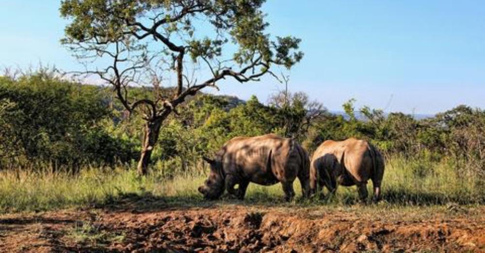 rhino3_1000x523