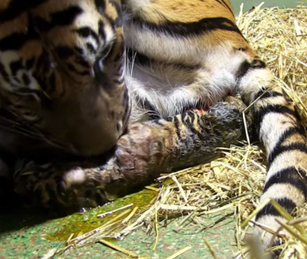 Tiger Gives Birth To Twin Cubs But One Appears To Be Lifeless But Mom Knew What To Do