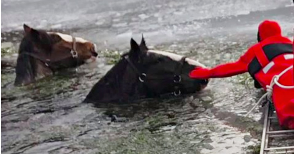 Two Clydesdales Rescued From Frozen Lake With Chainsaws