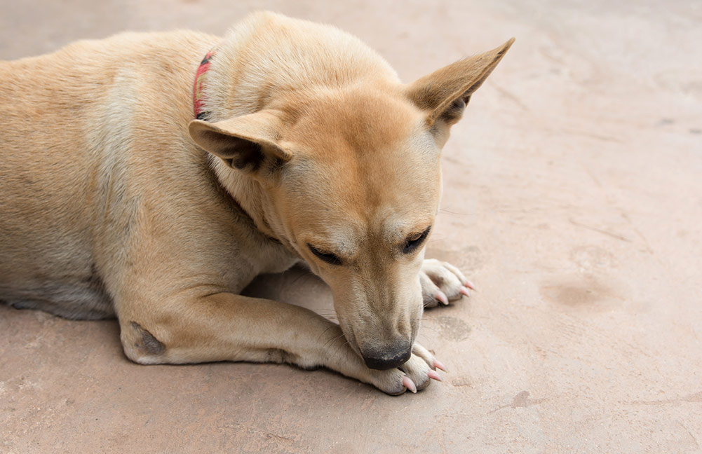 A dog chews on her paw.