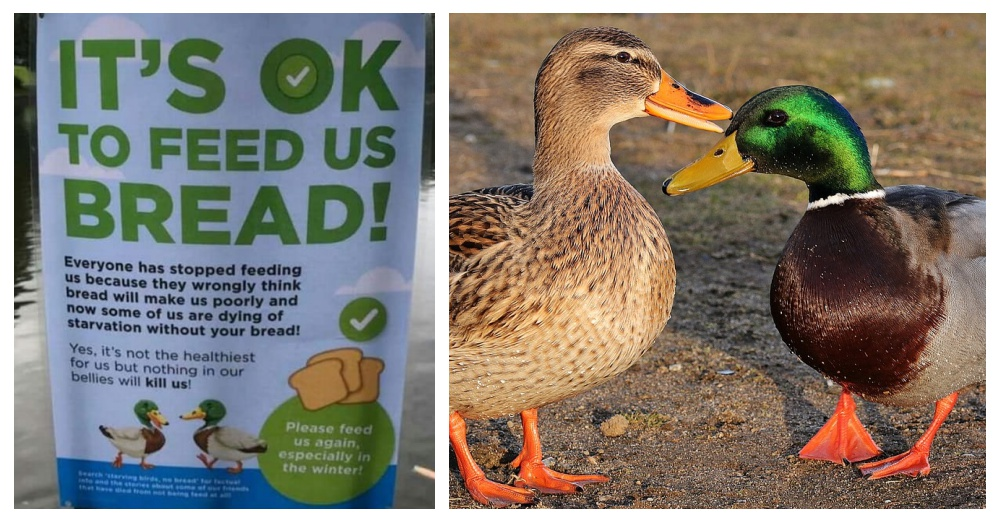 Ducks Are Starving To Death In The Uk Because People Have Stopped