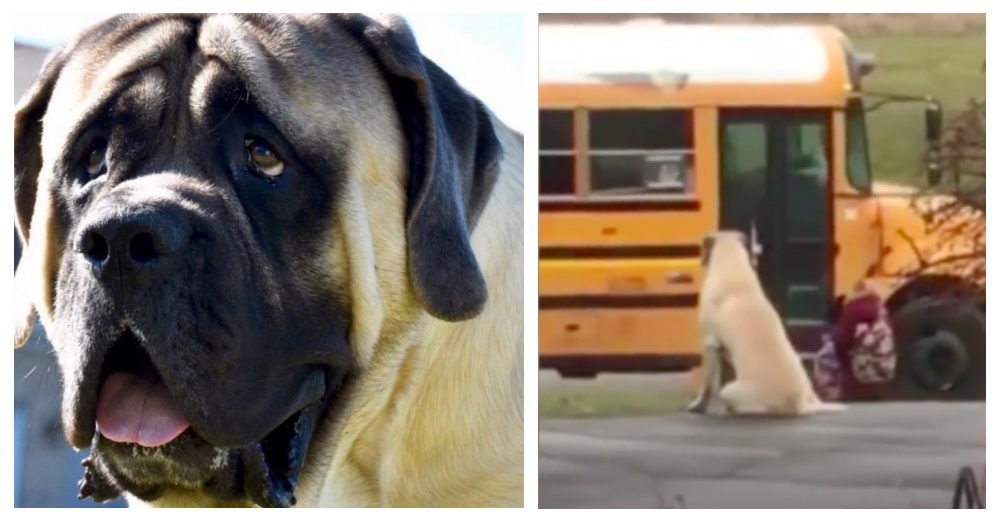 Dog Waits Every Morning With His Two Little Sisters For The Bus