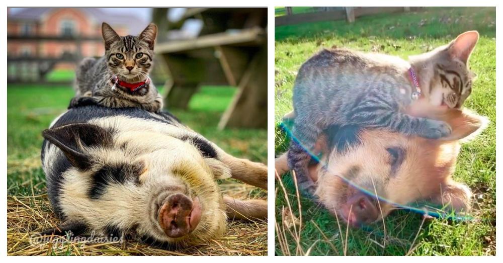 gatto amico dei maiali