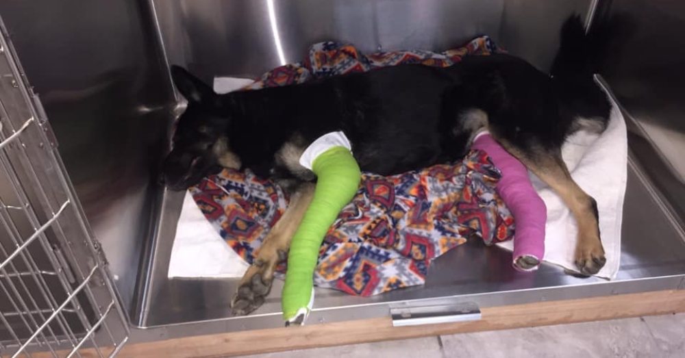 When Pregnant German Shepherd Is Critically Injured Near Highway