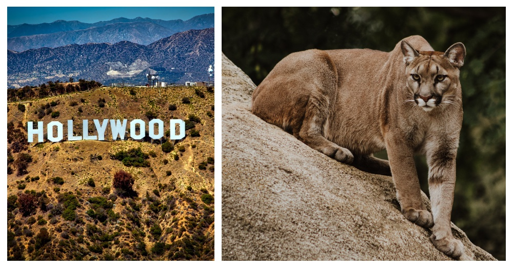 mountain lion by hollywood sign