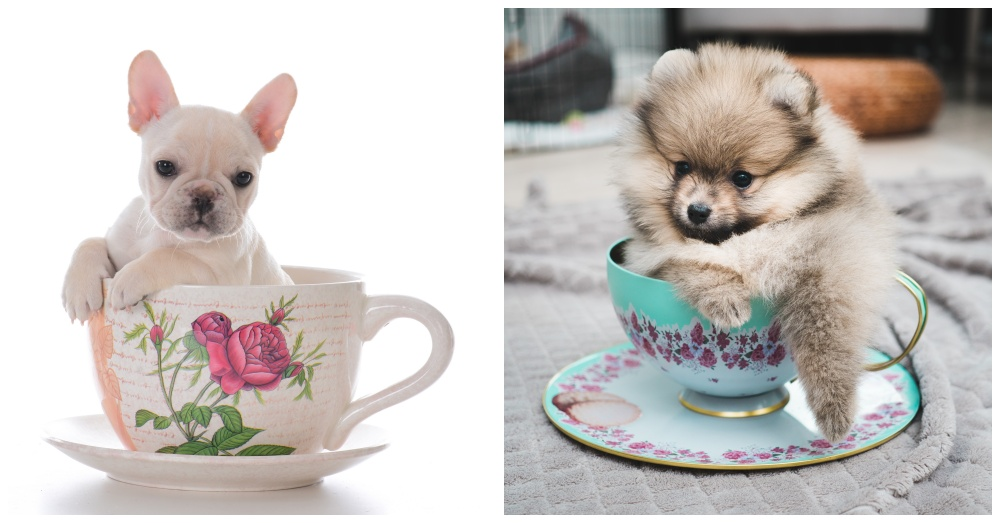small tea cups dogs