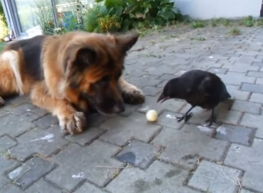 Crow Convinces A German Shepherd To Play An Adorable Game Of Fetch