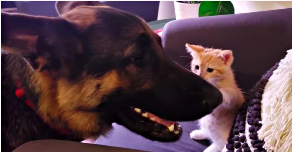 Tiny Kitten Works Hard And Wins Over German Shepherd's Friendship