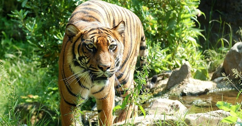 Another Critically Endangered Sumatran Tiger Found Poisoned In Indonesia