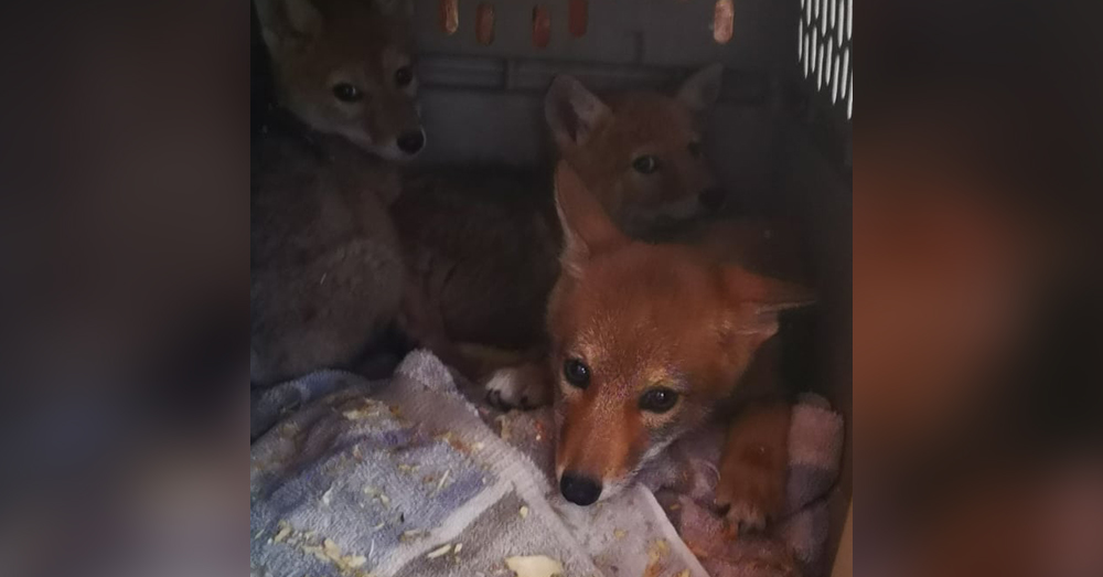 YipYip (left) with two other orphaned coyote pups that he will be playing with while in rehab!