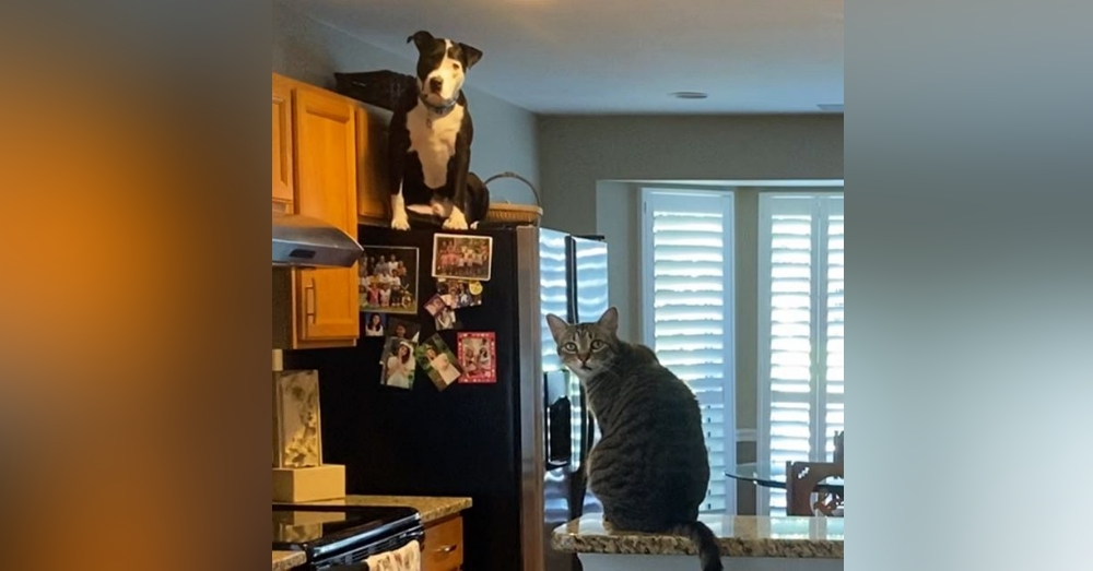 Rescued Pit Bull Thinks He's One Of The Cats
