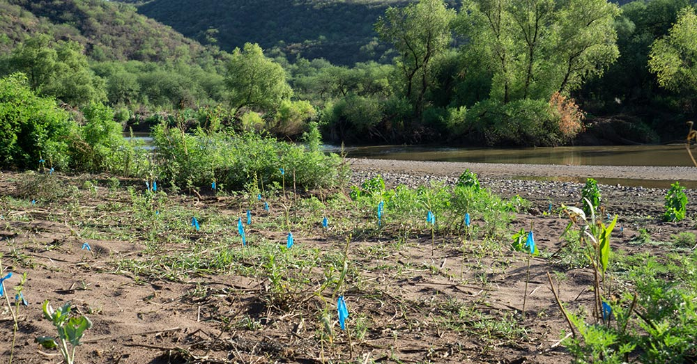 Project Wildcat and Colectivo Sonora Silvestre have planted native saplings in the region.