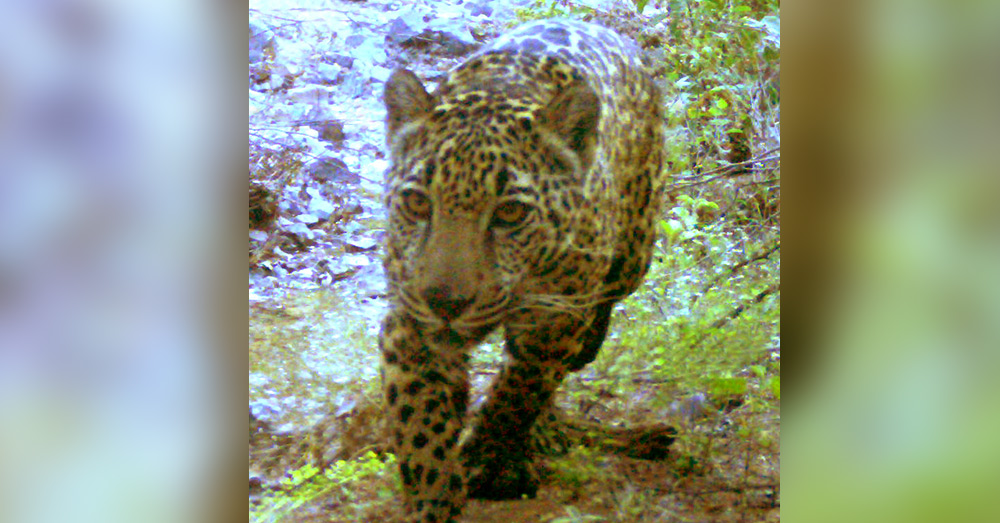 Jaguars were almost killed off in the region before Project Wildcat started working with local farmers and landowners.