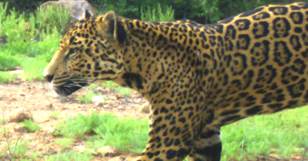 Luisa is one of the remaining jaguars in the Northern Sonora region of Mexico.