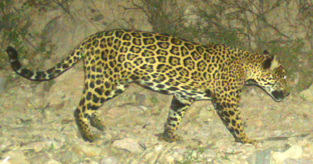 Project Jaguar documents the movement of big cats in Northern Sonora, Mexico, using trail cameras.