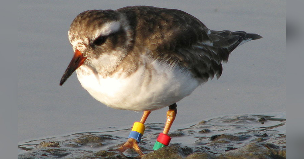 A shore plover with color bands for identification.