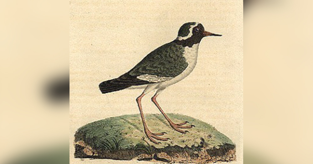 The shore plover is an endangered New Zealand bird with a black face, red eye, red legs and a black and red bill.