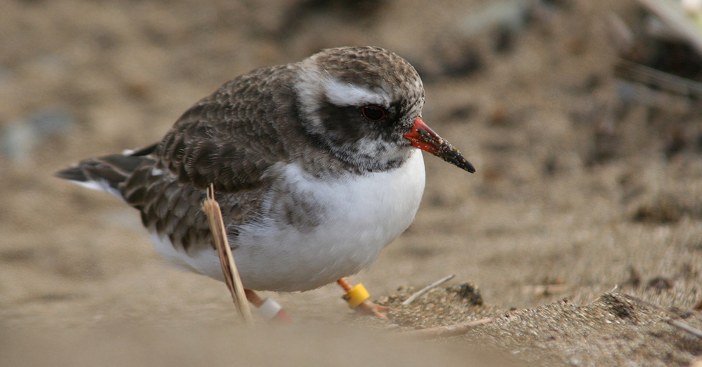 A Young Shore Plover