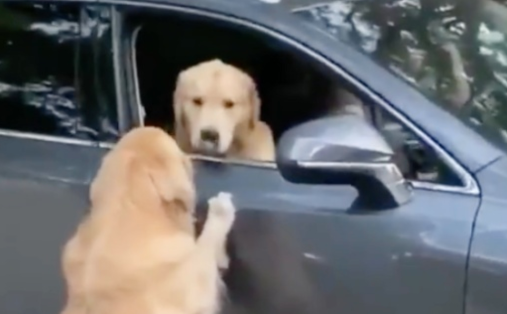 Golden Retriever Meets Up With His Best Buddy For The First Time Since Lockdown Started