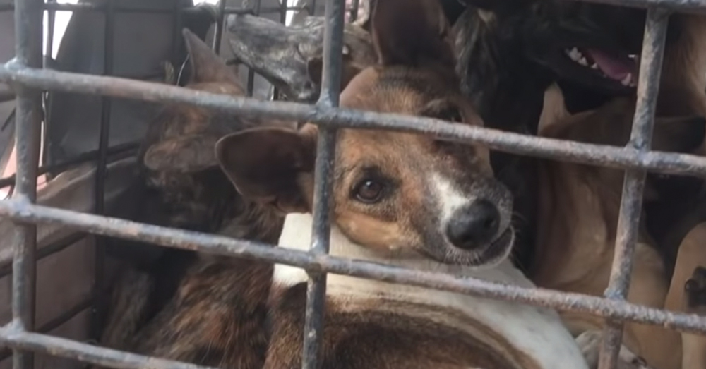 Finding a bbutcher an alternate source of income saved the lives of 15 dogs in his slaughterhouse.