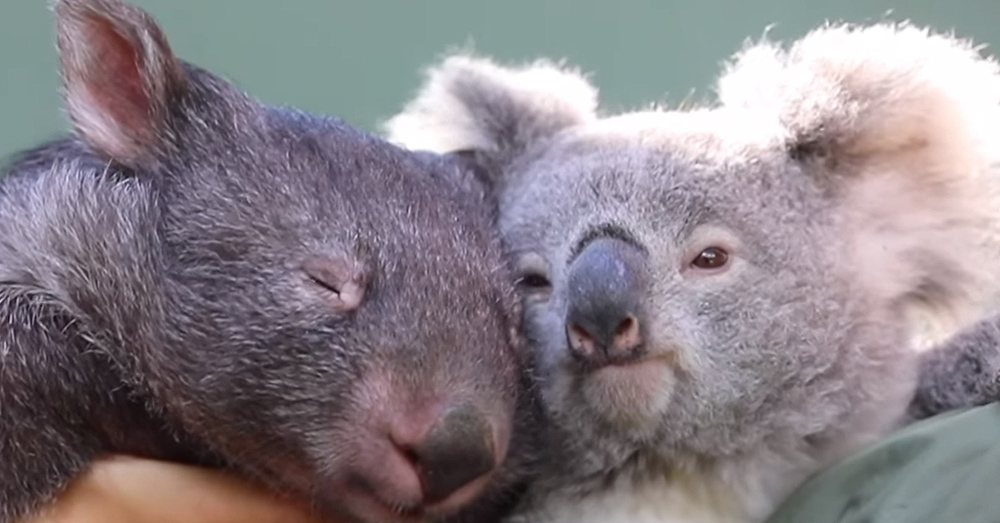 A wombat and a koala bear have become friends in captivity.
