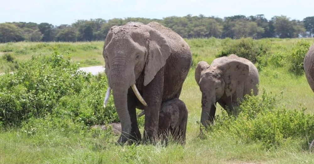 Elephants have been making a rebound thanks to anti-poaching efforts.