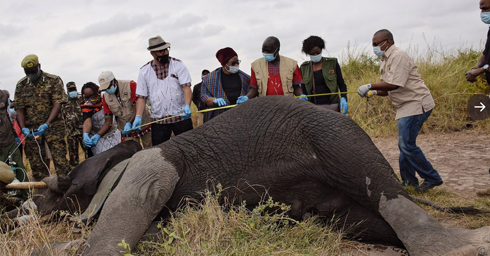 During the Elephant collaring exercise, Scientists and Veterinarians also take blood, tissue and hair samples for further analysis, to generate more information about the Elephant's genes, history, age and measurements.