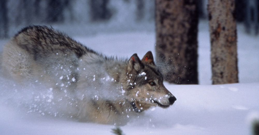 The return of these predators has benefitted other species around Yellowstone park.
