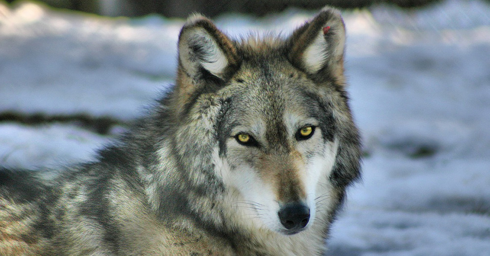 Gray Wolves were almost driven extinct by the 1940s.
