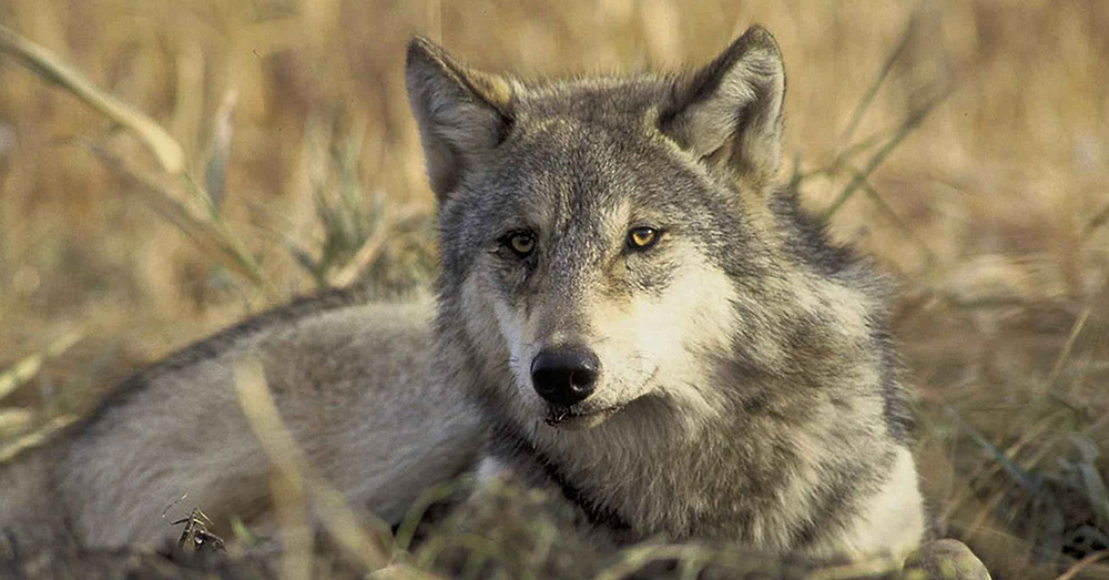Wolves are also helping being back beaver populations in Yellowstone.